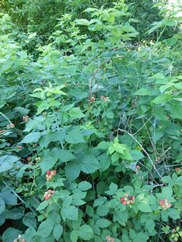 Black Berry Bush